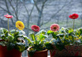 Springtime gerbera pot plants Royalty Free Stock Photos