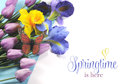 Springtime is here sample text on white background with spring flowers blue and purple silk iris yellow daffodil pink mauve tulips Royalty Free Stock Photography