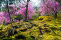Springtime in japan japanese moss garden with cherry blossoms during arashiyama the western outskirts of kyoto Stock Images