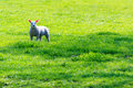 Springtime lamb in grass field looking at the camera symbol for Stock Photos