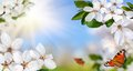 Springtime paradise with white spring blossoms bright blue sunny sky and happy butterflies wide format Royalty Free Stock Photo