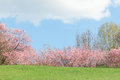Springtime pink flowering apple trees in blooming nature sunshin sunshine landscape with green meadow Royalty Free Stock Images