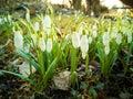 Springtime snowdrops Royalty Free Stock Photo
