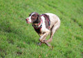 Sprinting running fast dog english springer spaniel on grass Royalty Free Stock Images