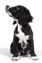 Sprocker spaniel puppy looking up obedient on white background sitting to the side Stock Photo