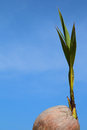 Sprout of coconut with blue sky Royalty Free Stock Photo