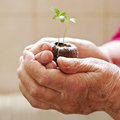 Sprout in the elderly hands Royalty Free Stock Images