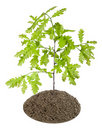 Sprout of the European oak tree Royalty Free Stock Photo