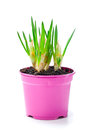 Sprout of flower bulbs in pot Royalty Free Stock Images