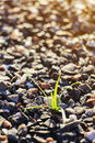 Sprout of grass on small gravel stone Royalty Free Stock Photo