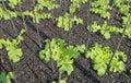 Sprout green Oak Lettuce in earth farm Royalty Free Stock Photo