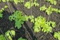 Sprout green Oak Lettuce in earth farm