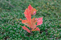 Sprout of oak with red leaves in green bootlicking moss Royalty Free Stock Photo