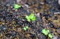 Sprout of salad plant salad Stock Photography