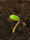 Sprout of soy Royalty Free Stock Photo