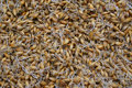 Sprouted barley Royalty Free Stock Photo