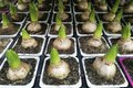 Sprouted group of bulbous plants, hyacinths, tulips in pots , in the shop , in the greenhouse,flat lay Royalty Free Stock Photo