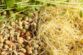 Sprouted seeds Royalty Free Stock Photography