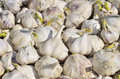 Sprouting garlic close up of a multitude of Royalty Free Stock Image