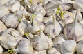Sprouting garlic close up of a multitude of Royalty Free Stock Photo