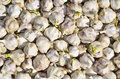 Sprouting garlic close up of a multitude of Royalty Free Stock Images