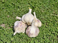 Sprouting garlic group of green grass Stock Image