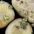 Sprouting potato isolated on black Royalty Free Stock Image
