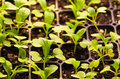 Sprouting seedlings Royalty Free Stock Photography