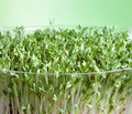 Sprouts closeup of green garden cress for a healthy diet Stock Photos