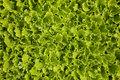 Sprouts of lettuces cultivation Stock Photo