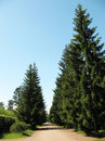 Spruce Alley in Oranienbaum Royalty Free Stock Photo