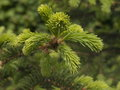 Spruce boughs Royalty Free Stock Photo