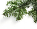 Spruce Branch Isolated On Whit...
