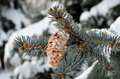Spruce branches with cones covered with white snow Royalty Free Stock Photos