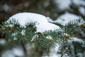 Spruce branches with snow Royalty Free Stock Photo