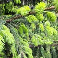 Spruce branches with young shoots. Evergreen tree Royalty Free Stock Photo