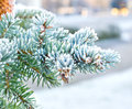 Spruce is covered with frost Royalty Free Stock Photo