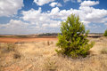 Spruce on dry Spanish meadows Royalty Free Stock Images