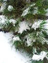 Spruce fir tree snow in white copy space branches of a winter covered with and green background for christmas on left Royalty Free Stock Photography