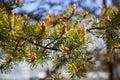 Spruce Flowering