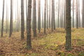 Spruce forest pinery pine forest pinet tree fairy Royalty Free Stock Photos