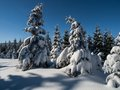 Spruce forest in winter time czech republic Stock Photography
