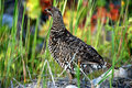 Spruce grouse Stock Photo