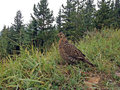 Spruce grouse. Royalty Free Stock Photo