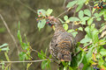 Spruce grouse female a rests in the branches of a tree in algonquin provincial park ontario canada Royalty Free Stock Images