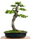 Spruce picea orientalis as bonsai tree in a pot with green needles Royalty Free Stock Photo