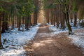 Spruce pine forest path way, winter snow covered landscape Royalty Free Stock Photo
