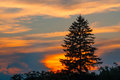 Spruce silhouette at sunset evergreen nature background Royalty Free Stock Images