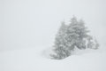 Spruce in snow storm Royalty Free Stock Photo