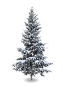 Spruce in the snow on a white background Stock Photo